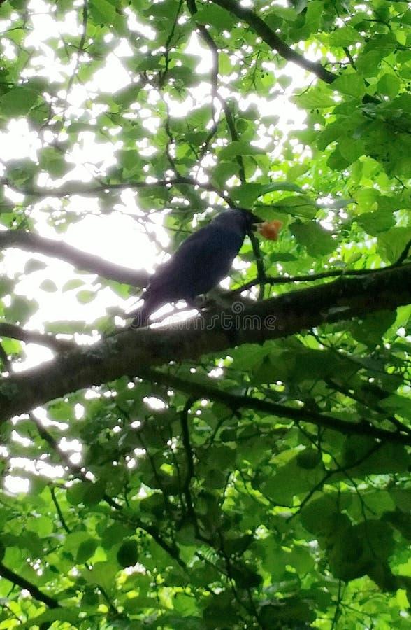 Corvo preto do pássaro aka foto de stock