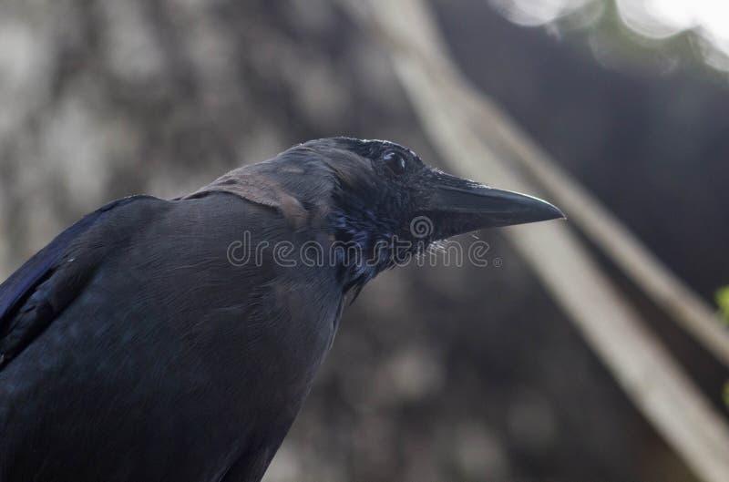 Corvo preto do pássaro no ramo de árvore na floresta imagem de stock royalty free