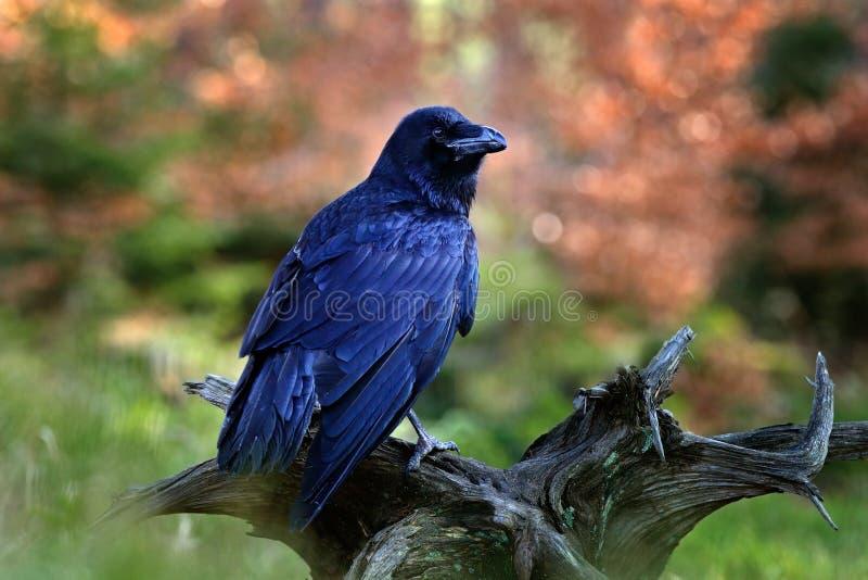 Corvo preto do pássaro que senta-se no tronco de árvore no habitat da natureza da floresta, no animal na madeira do outono, na pl imagens de stock royalty free