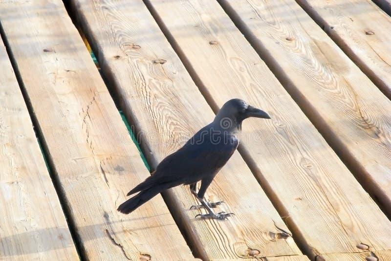 Corvo preto no revestimento de madeira fotografia de stock