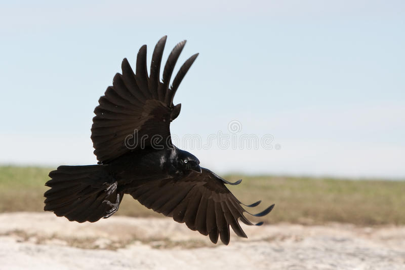 Corvo preto que entra aterrar. foto de stock royalty free