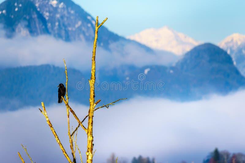 Corvo que senta o ramo de árvore do ona em Pitt Polder na cidade do bordo Ridge em Fraser Valley do Columbia Britânica, Canadá imagem de stock royalty free