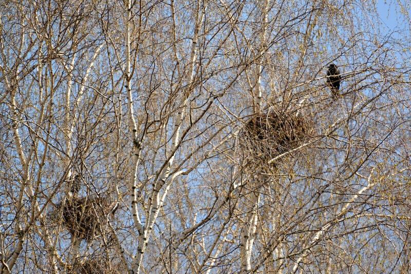 Corvos de cadáver de um ninho em ramos de vidoeiros novos fotos de stock royalty free