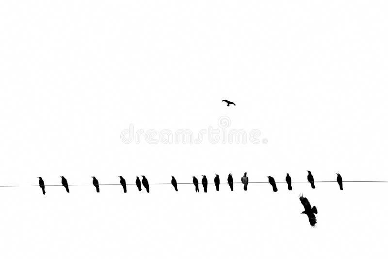Corvos em um fio bonde, preto e branco fotos de stock