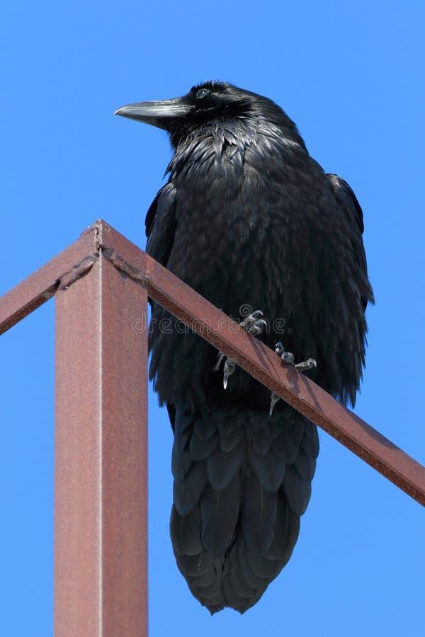 Corvus corax Rabe auf Hintergrund des blauen Himmels in Sibirien lizenzfreie stockfotografie