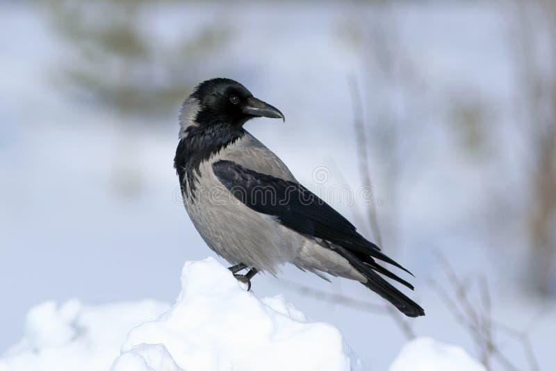Corvus cornix Die Rabenkrähe steht auf einer Schnee Bank während lizenzfreies stockfoto
