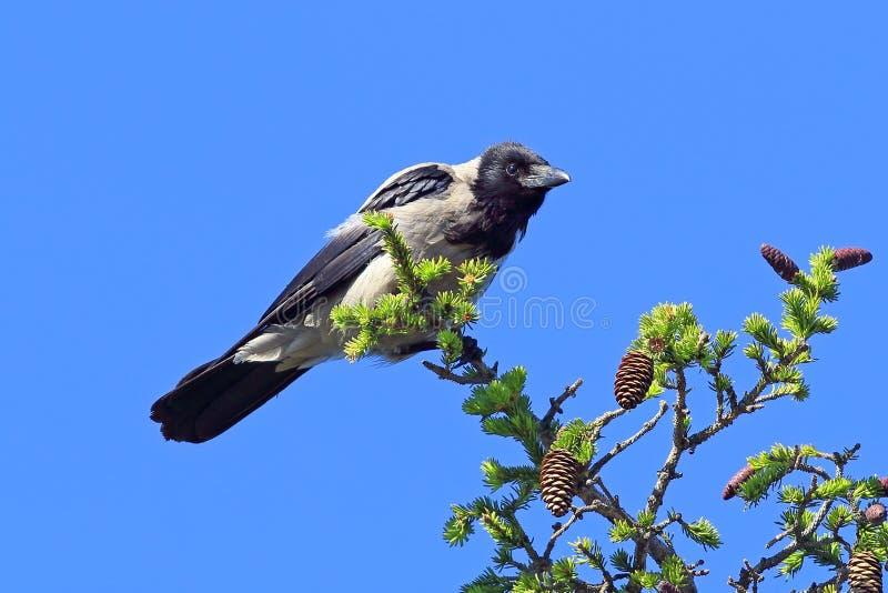 Corvus cornix Eine graue Krähe auf einem Baum ein sonnigen Tag lizenzfreie stockfotos