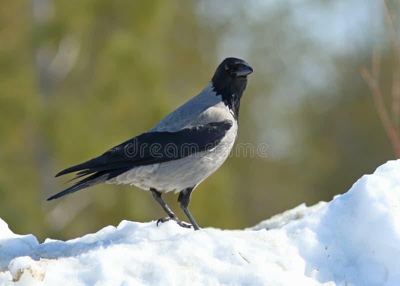 Corvus cornix Graue Krähe im Vorfrühling in Yamal stockbilder