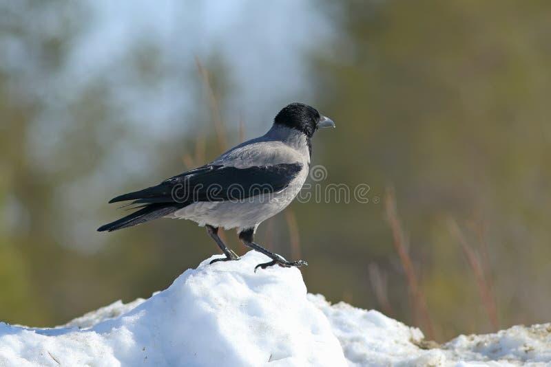 Corvus cornix Grauer Krähenvorfrühling geht in den Schnee auf Yamal lizenzfreie stockfotos