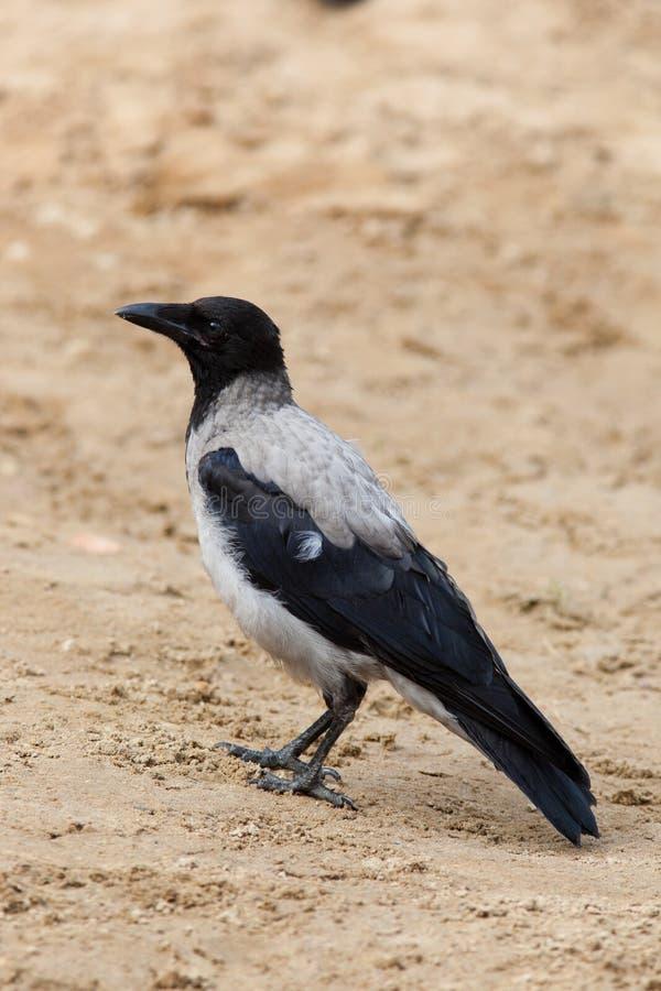 Free Corvus Cornix, Hooded Crow Stock Images - 15703864