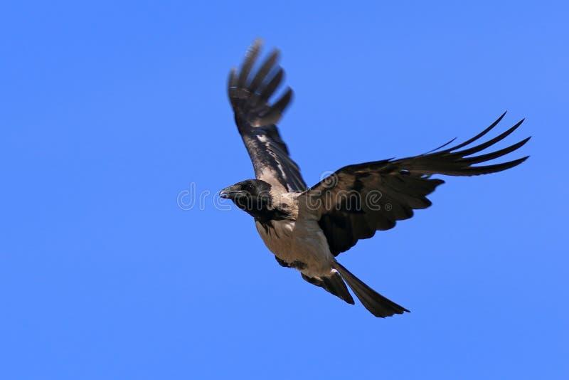 Corvus cornix Krähennahaufnahme im Himmel stockfotografie
