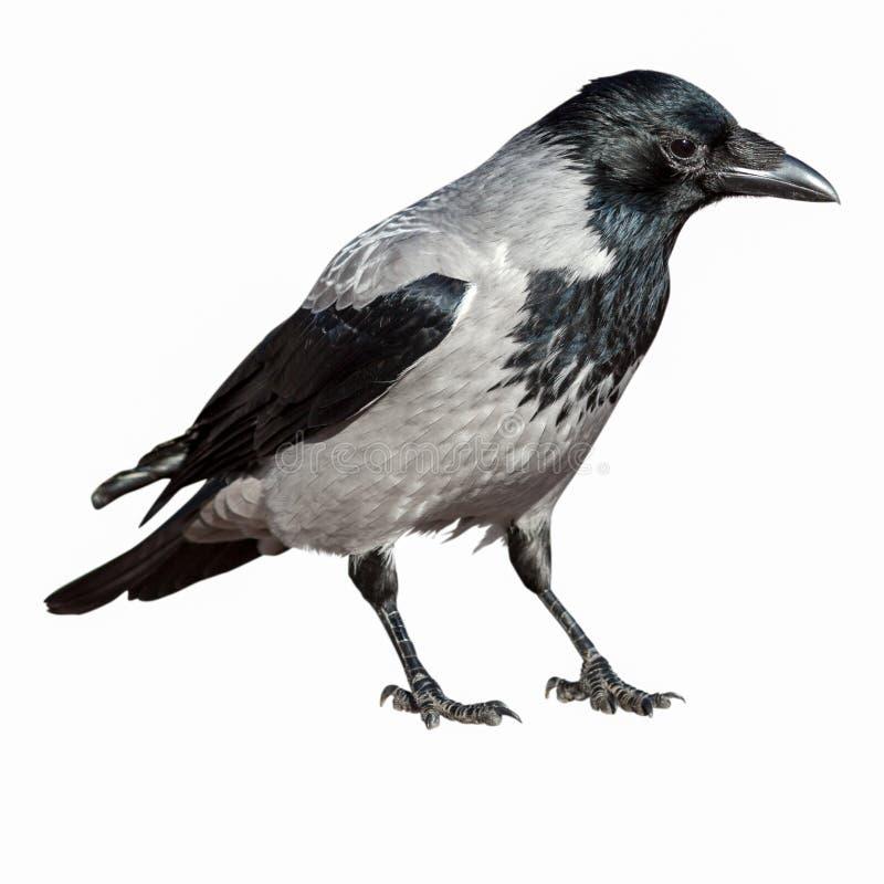 Corvus cornix, Kraai Met een kap royalty-vrije stock fotografie