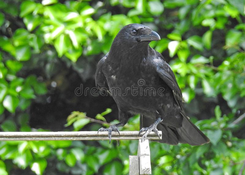 Corvus czerni wrony karmienie na ogrodowym ptaka stole zdjęcie stock