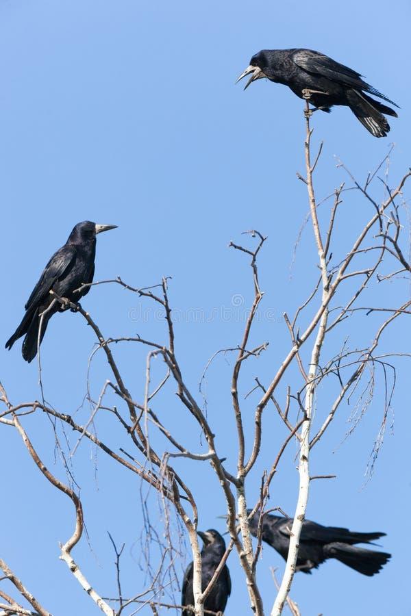 Corvus frugilegus, Turm stockfoto
