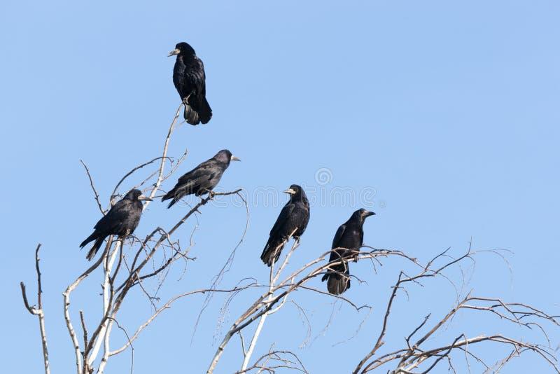Corvus frugilegus, Turm stockbild