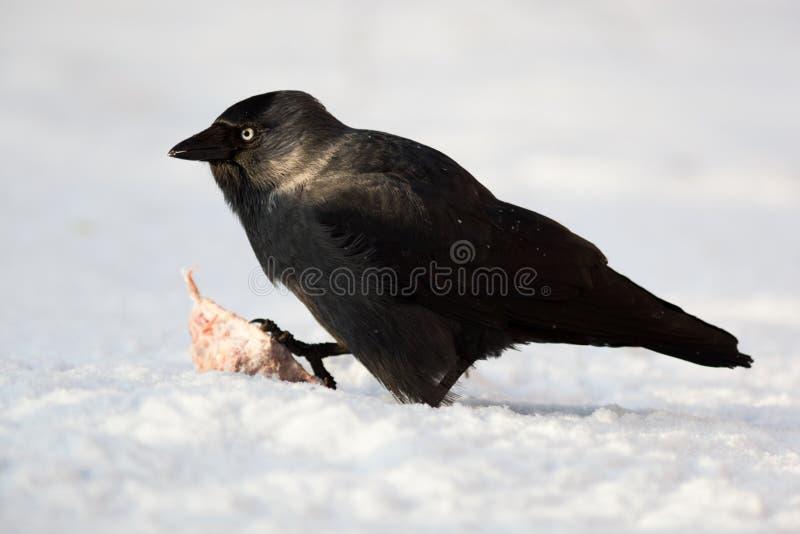 corvus kawki jackdaw monedula zdjęcia stock
