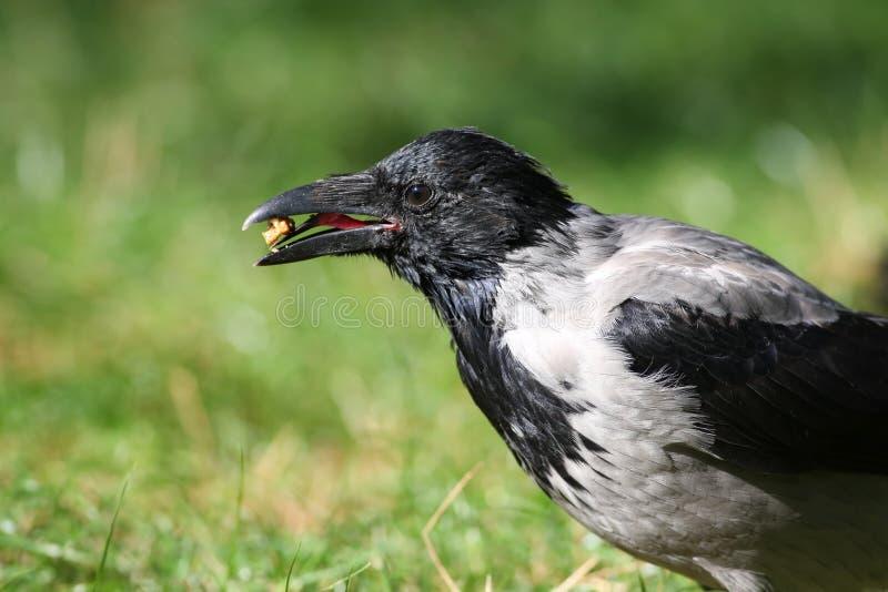 Corvus que cinzento cornix do corone guarda uma porca no bico, a forma do corvo da língua do corvo é claramente visível imagens de stock royalty free