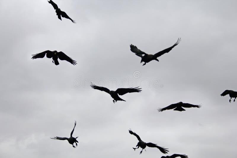 Corvus Splendens royalty free stock photo