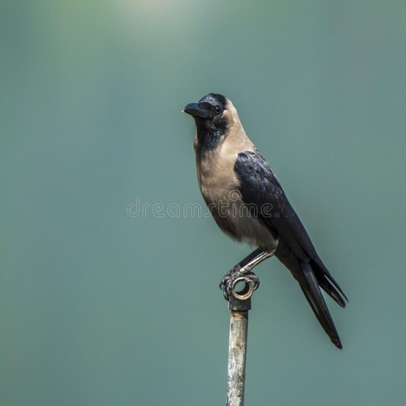 Corvus splendens, huiskraai die zich op een pool in Nepal bevinden stock afbeelding