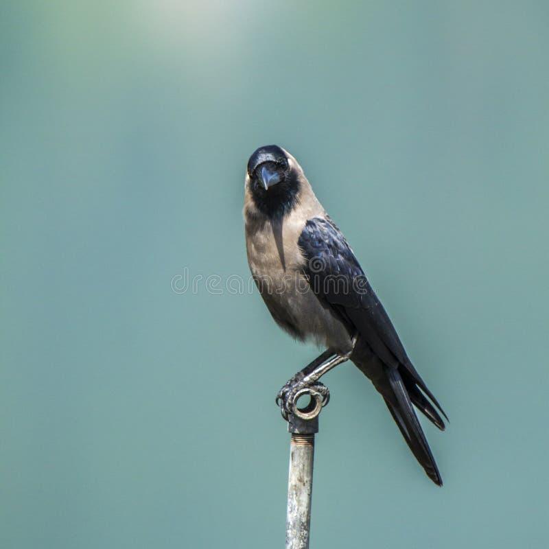 Corvussplendens, anseende för husgalande på en pol i Nepal royaltyfria bilder