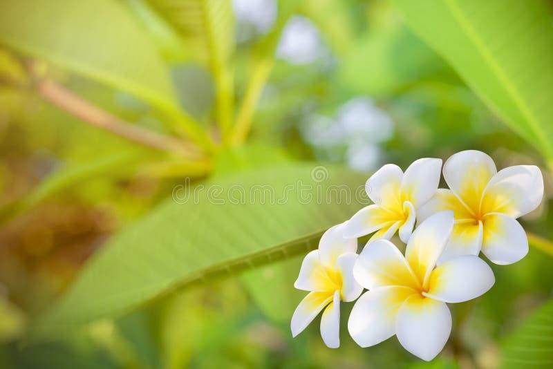 Cory空间,与黄色中心的芬芳纯净的白色有气味的绽放的异乎寻常热带 图库摄影