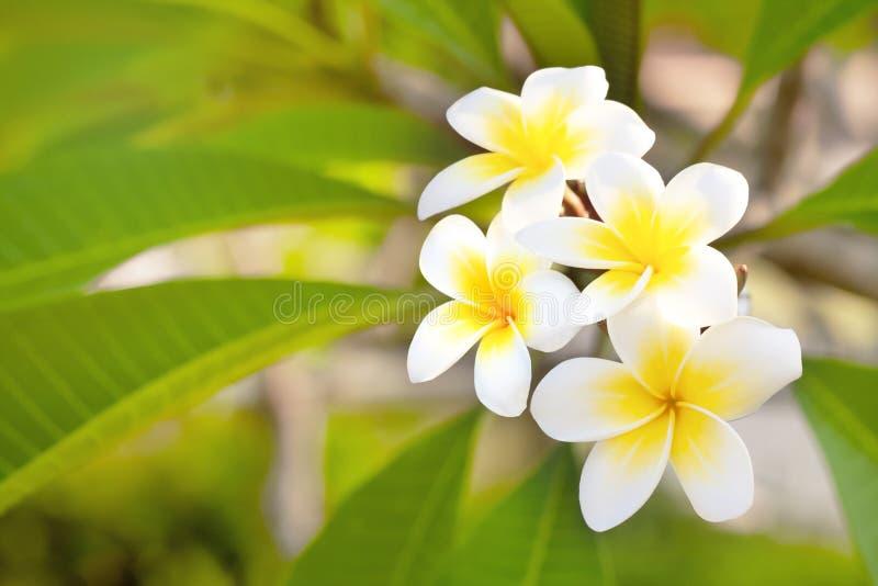 Cory ruimte, Fabelachtige geurige zuivere witte bemerkte bloei met gele centra van exotische tropische plumeria van frangipannisp royalty-vrije stock fotografie