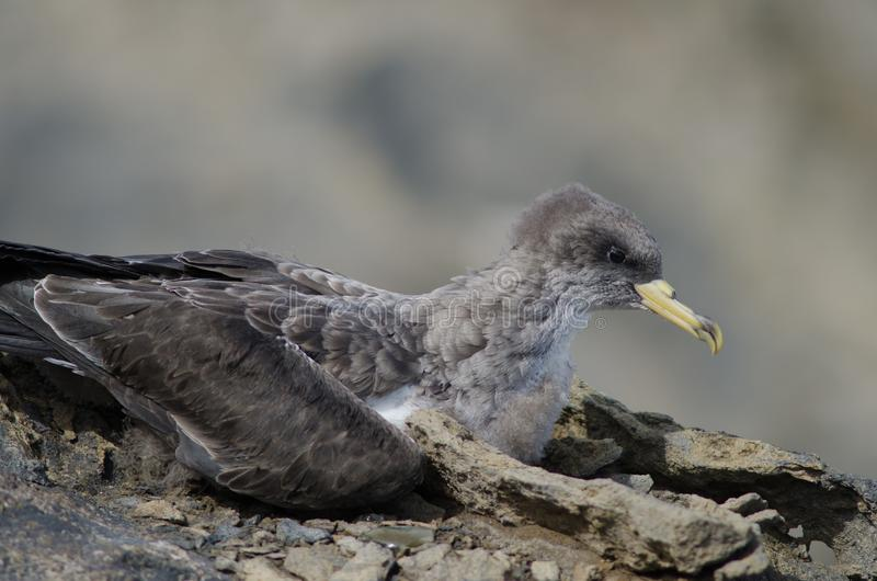 Cory` s shearwater royalty-vrije stock afbeelding