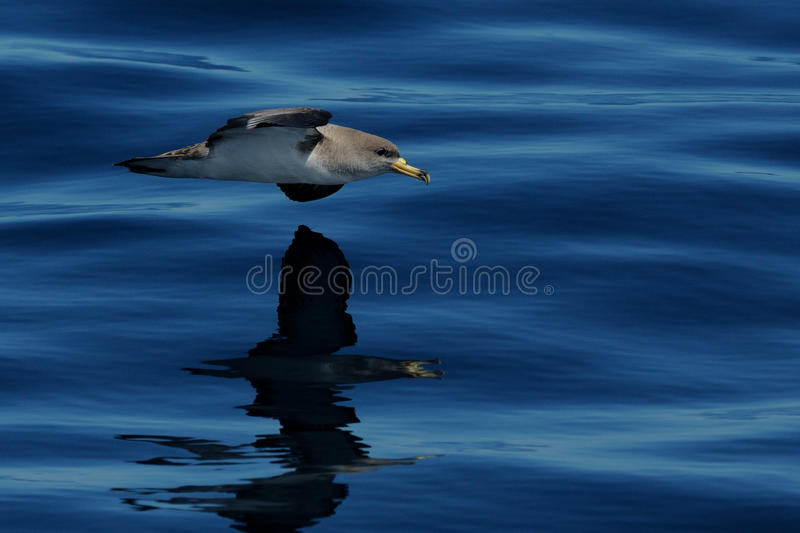 Cory's Shearwater (Calonectris Diomedea). This shearwater i can photograph from a boat royalty free stock images