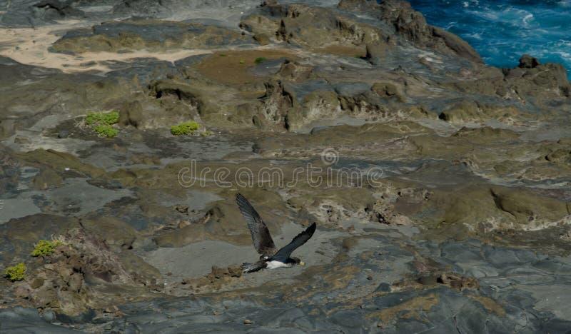 Cory` s shearwater diomedeaborealis die van Calonectris vlucht nemen stock foto's