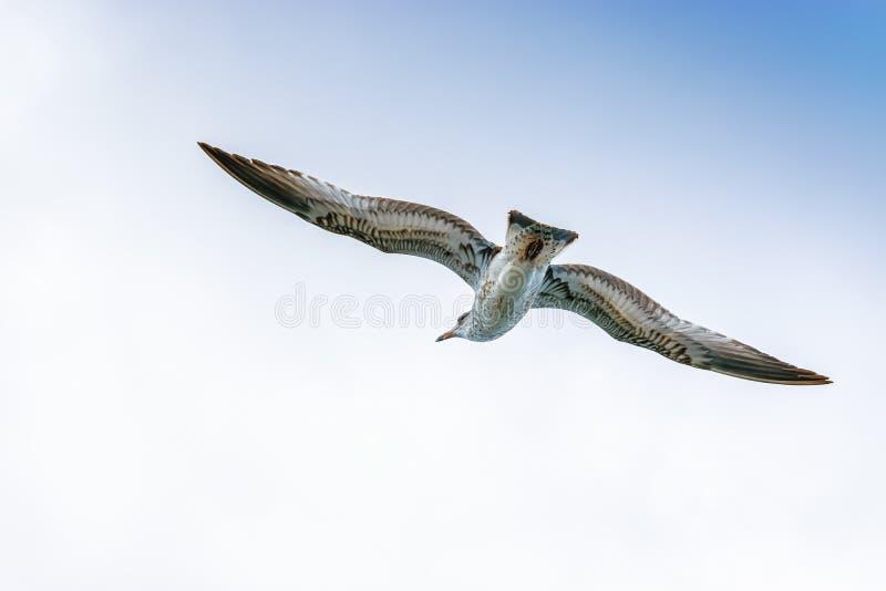 Cory` s Shearwater vogel die door de open hemel glijden royalty-vrije stock foto's