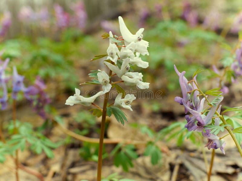 Corydalis, белизна цветка и пурпуры стоковое фото
