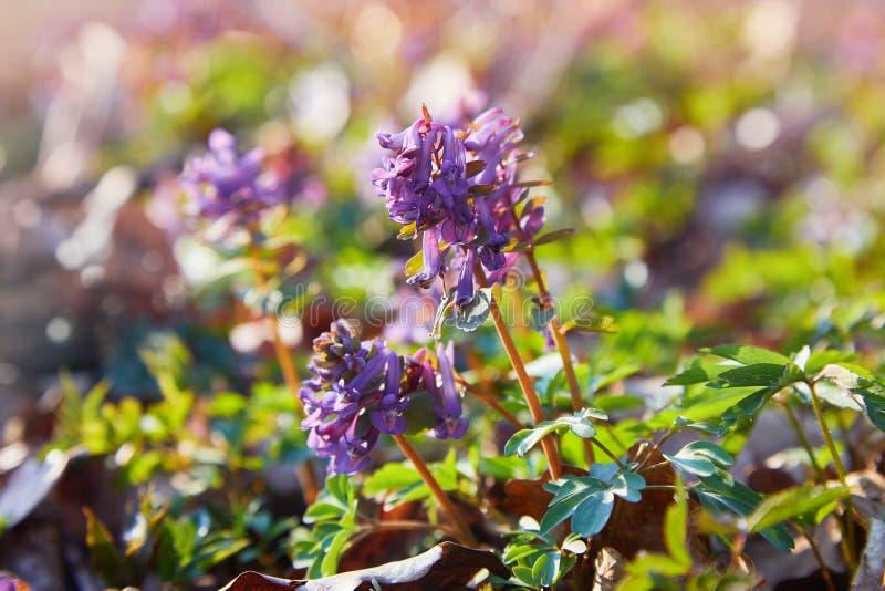 Corydalis cave, fleurs violettes de ressort de corydalis image libre de droits