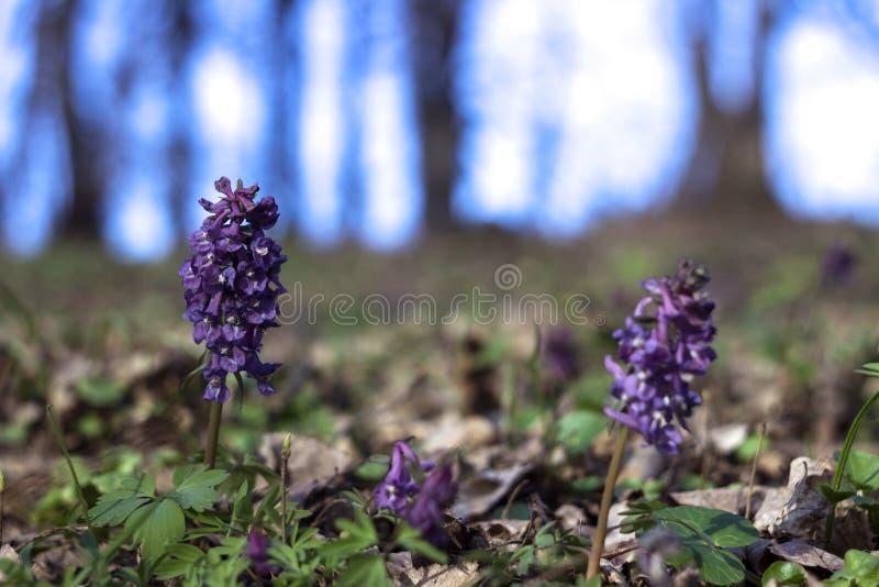 Corydalis - fiori porpora in anticipo di fioritura nella foresta in primavera, fondo di giorno soleggiato fotografia stock libera da diritti