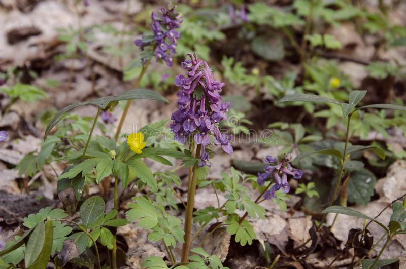 Corydalis flowers, perennial herb. Primroses in spring in the deciduous forest royalty free stock photos