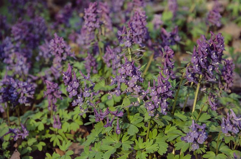 Corydalis flowers, perennial herb. Primroses in spring in the deciduous forest stock photography