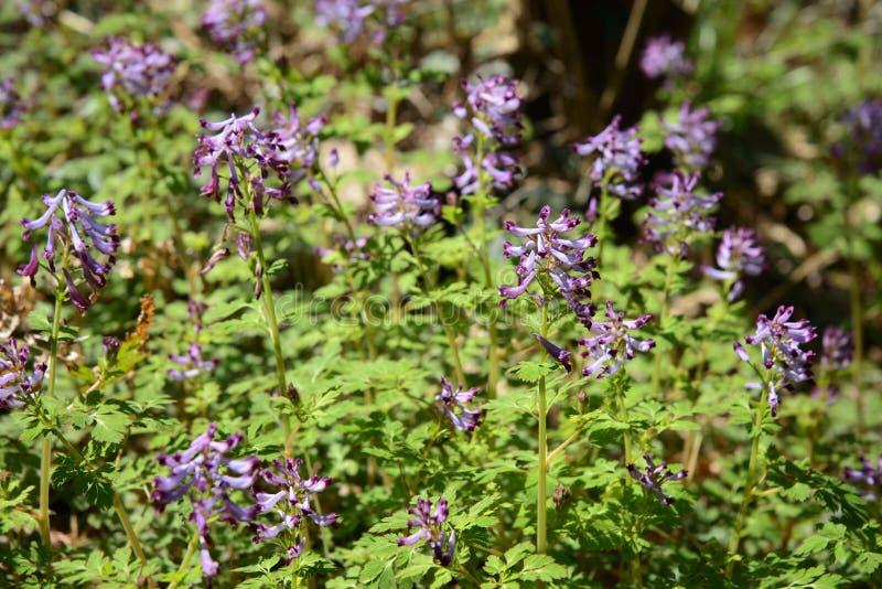Download Corydalis incisa kwiaty zdjęcie stock. Obraz złożonej z liść - 53787296