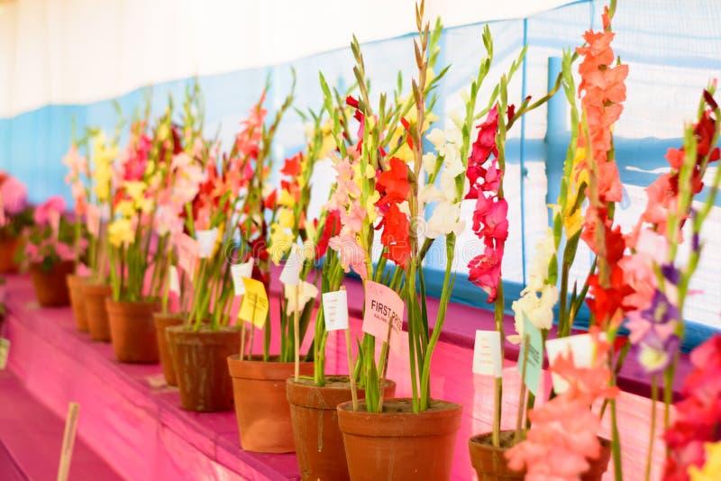 Corydalislöwenmaul und Glyzinieblumenanzeige für Verkauf in einem Blumentopf im Gartenbau angemessen im kolkata Westbengalen Indi lizenzfreie stockbilder