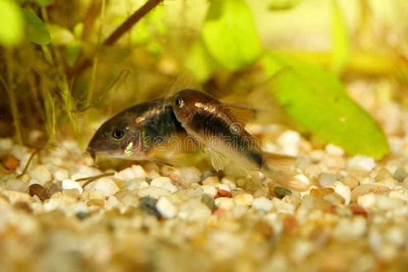Download Corydoras De Bronze (aeneus De Corydoras) Imagem de Stock - Imagem de freshwater, ornamental: 65575799