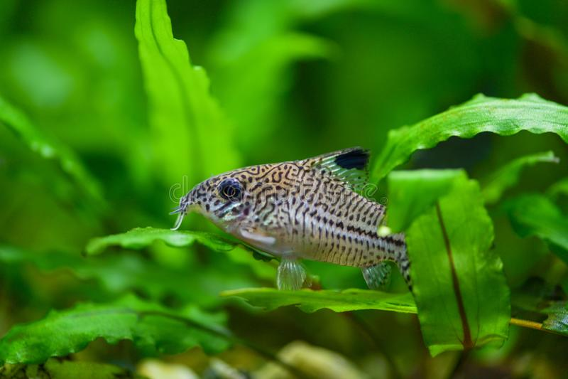 Corydoras paleatus. Pepper Cory Corydoras paleatus catfish. Fish Corydoras mottled, speckled Catfish sitting on the leaf of plants. In the aquarium stock image