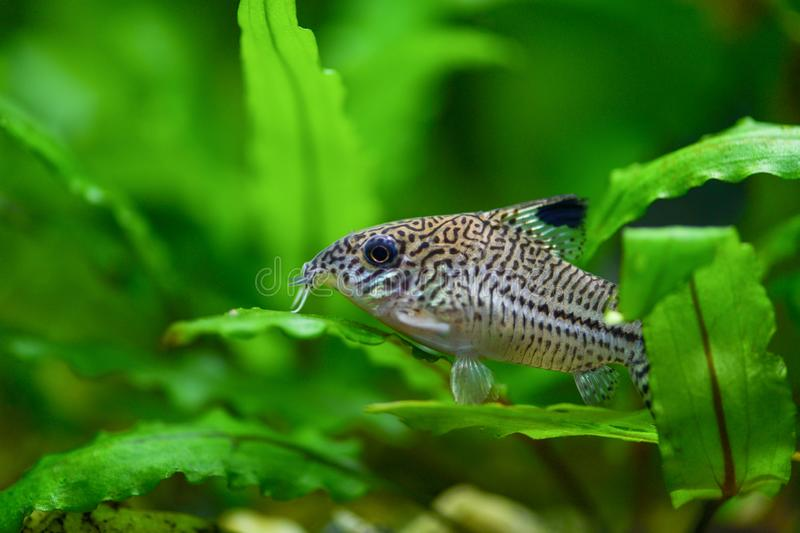 Corydoras paleatus. Pepper Cory Corydoras paleatus catfish. Fish Corydoras mottled, speckled Catfish sitting on the leaf of plants. In the aquarium stock photography