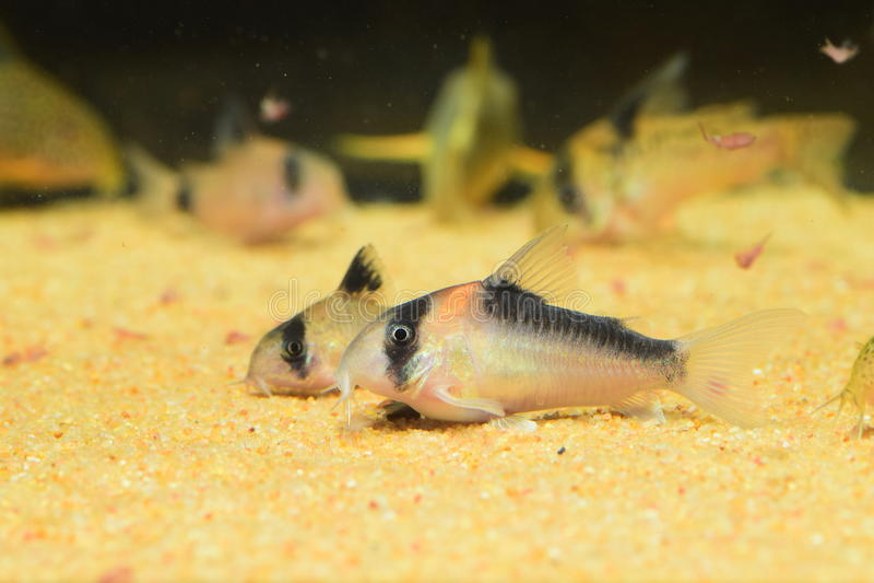 Corydoraskatvis stock afbeeldingen