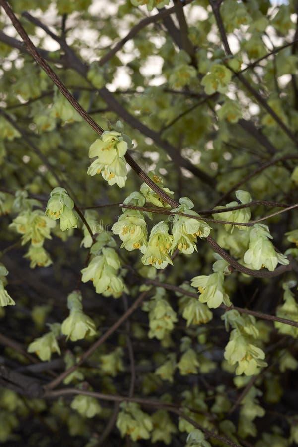 Corylopsis pauciflora shrub in bloom stock photography