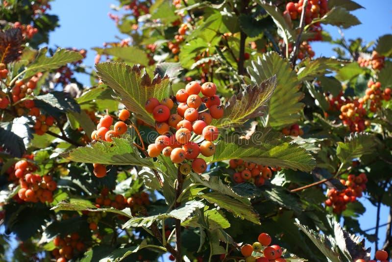 Corymb оранжевых ягод арии рябины стоковое изображение