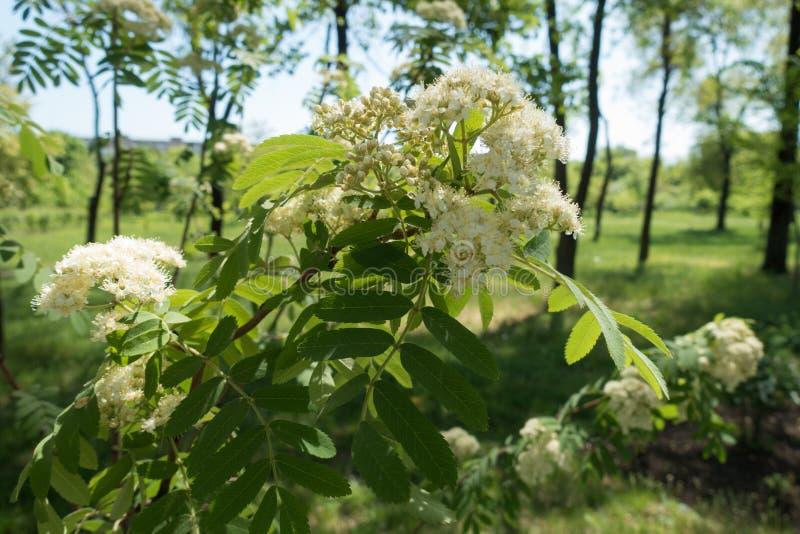 Corymb des fleurs blanches de la sorbe photos stock
