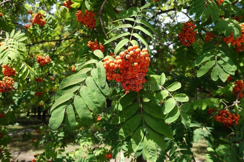 Corymbe des baies de Sorbus aucuparia photographie stock libre de droits