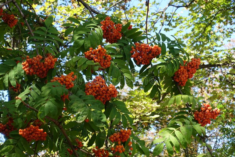 Corymbes denses de baies d'oranges de Sorbus aucuparia photographie stock