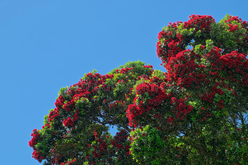 Corymbia ficifolia, Eucalyptus ficifolia, red flowering gum tree stock photography