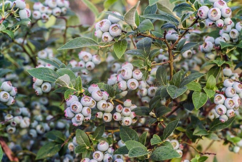 Corymbosum inmaduro del Vaccinium, conocido como arándano del highbush foto de archivo