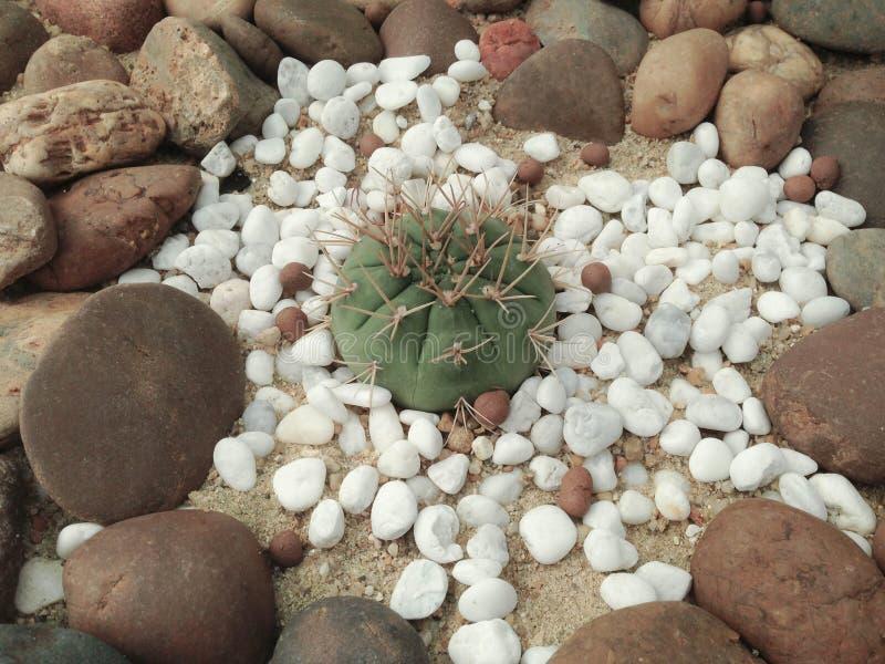 Coryphantha maiz - tablasensis royalty free stock image