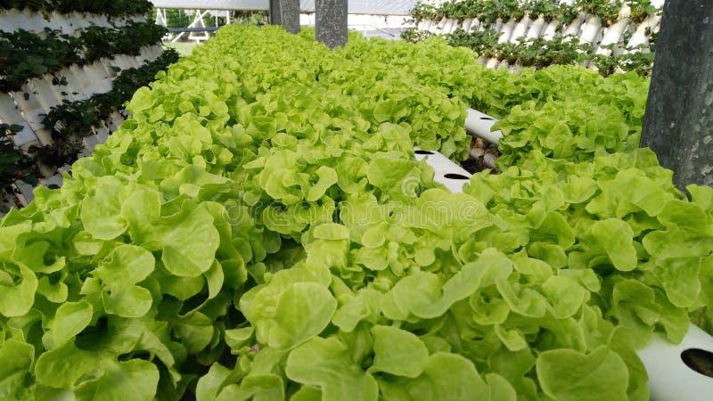 Cos Lettuce em uma exploração agrícola hidropônica fotografia de stock royalty free